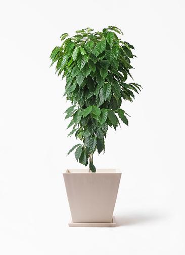 観葉植物 コーヒーの木 10号 パウダーストーン 白 付き