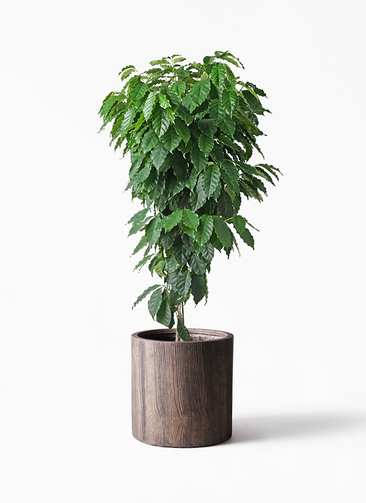 観葉植物 コーヒーの木 10号 アルファシリンダープランター 付き