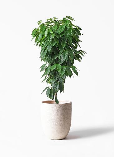 観葉植物 コーヒーの木 10号 ビアスアルトエッグ 白 付き