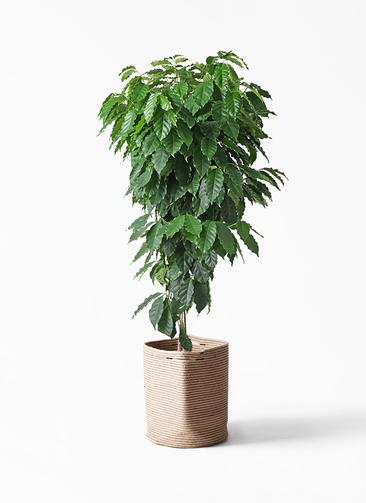 観葉植物 コーヒーの木 10号 リブバスケットNatural 付き