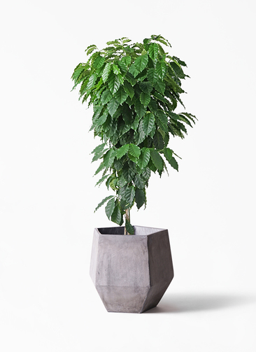 観葉植物 コーヒーの木 10号 ファイバークレイGray 付き