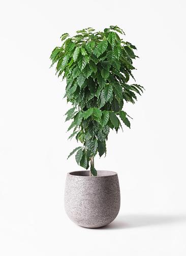 観葉植物 コーヒーの木 10号 エコストーンGray 付き