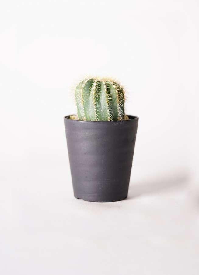 サボテン エリオカクタス マグニフィクス 3号 プラスチック鉢