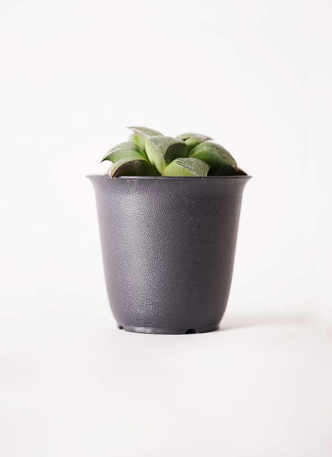 ハオルチア レツーサ系 実生選抜 3.5号 プラスチック鉢