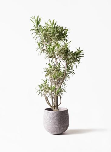 観葉植物 ドラセナ ソング オブ インディア 8号 エコストーンGray 付き