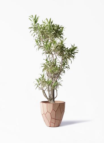 観葉植物 ドラセナ ソング オブ インディア 8号 ウィスク 付き