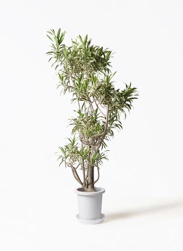 観葉植物 ドラセナ ソング オブ インディア 8号 プラスチック鉢