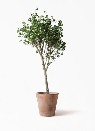 観葉植物 フィカス ベンジャミン 8号 シタシオン ルーガ アンティコ ソリッド 付き