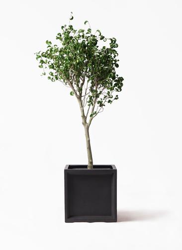 観葉植物 フィカス ベンジャミン 8号 シタシオン ブリティッシュキューブ 付き