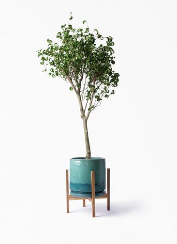 観葉植物 フィカス ベンジャミン 8号 シタシオン ビトロ エンデガ ターコイズ ウッドポットスタンド付き