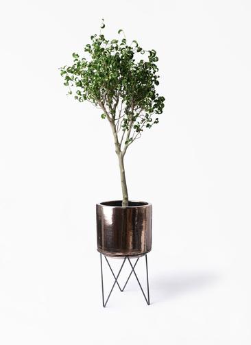 観葉植物 フィカス ベンジャミン 8号 シタシオン ビトロ エンデカ ゴールド アイアンポットスタンド 付き