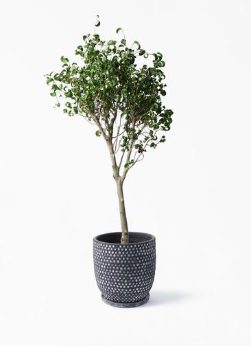 観葉植物 フィカス ベンジャミン 8号 シタシオン ハイブミドル ブラック 付き