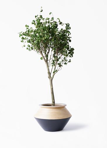 観葉植物 フィカス ベンジャミン 8号 シタシオン アルマジャー 黒