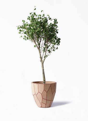 観葉植物 フィカス ベンジャミン 8号 シタシオン ウィスク 付き