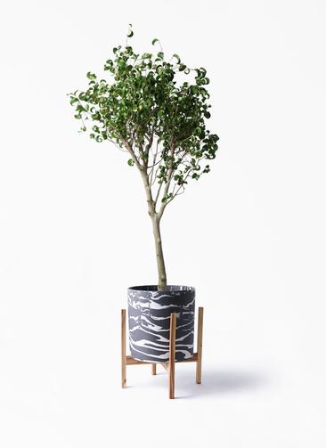 観葉植物 フィカス ベンジャミン 8号 シタシオン ホルスト シリンダー マーブル ウッドポットスタンド付き