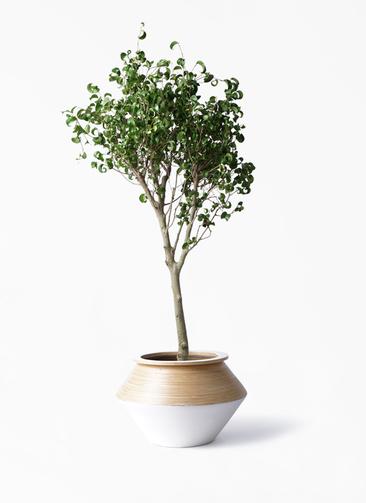 観葉植物 フィカス ベンジャミン 8号 シタシオン アルマジャー 白
