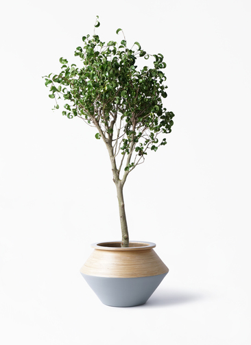 観葉植物 フィカス ベンジャミン 8号 シタシオン アルマジャー グレー