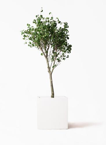 観葉植物 フィカス ベンジャミン 8号 シタシオン バスク キューブ 付き