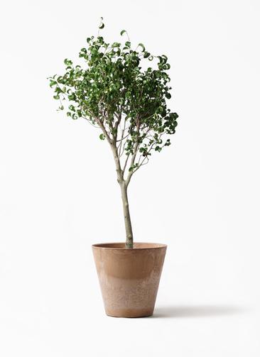 観葉植物 フィカス ベンジャミン 8号 シタシオン アートストーン ラウンド ベージュ 付き