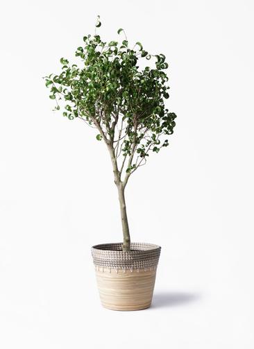 観葉植物 フィカス ベンジャミン 8号 シタシオン アルマ コニック 白 付き