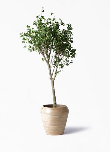 観葉植物 フィカス ベンジャミン 8号 シタシオン アルマ ミドル 付き
