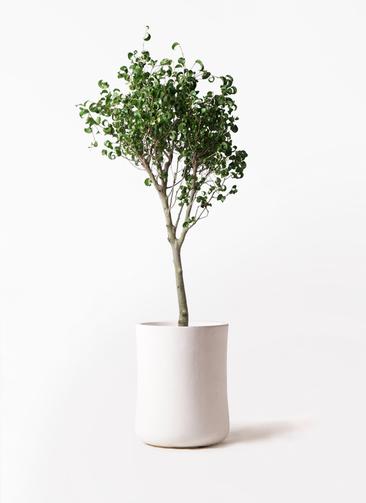 観葉植物 フィカス ベンジャミン 8号 シタシオン バスク ミドル ホワイト 付き