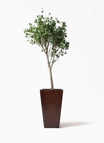 観葉植物 フィカス ベンジャミン 8号 シタシオン MOKU スクエア 付き