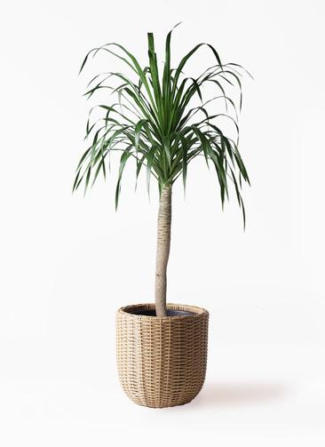 観葉植物 ドラセナ ドラコ 8号 ウィッカーポットエッグ ベージュ 付き