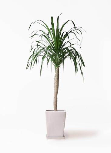 観葉植物 ドラセナ ドラコ 8号 LO スクエア 付き