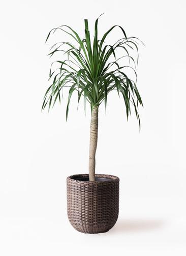 観葉植物 ドラセナ ドラコ 8号 ウィッカーポットエッグ 茶 付き