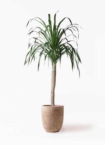 観葉植物 ドラセナ ドラコ 8号 ルーガ アンティコ アルトエッグ 付き