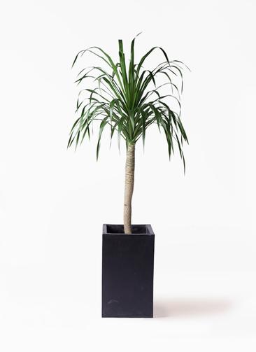 観葉植物 ドラセナ ドラコ 8号 セドナロング 墨 付き