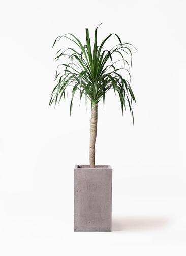 観葉植物 ドラセナ ドラコ 8号 セドナロング グレイ 付き