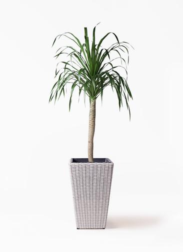 観葉植物 ドラセナ ドラコ 8号 ウィッカーポット スクエアロング OT 白 付き