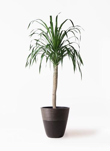 観葉植物 ドラセナ ドラコ 8号 ジュピター 黒 付き