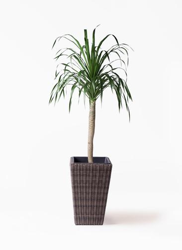 観葉植物 ドラセナ ドラコ 8号 ウィッカーポット スクエアロング OT 茶 付き