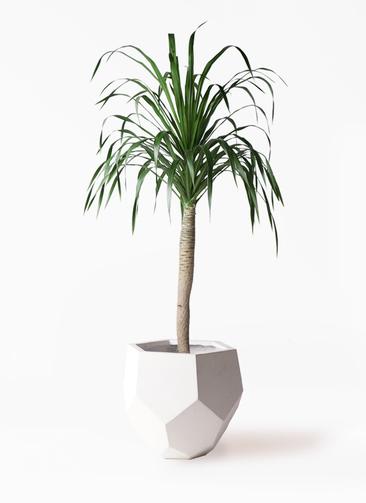 観葉植物 ドラセナ ドラコ 8号 ポリゴヘクサ 白 付き