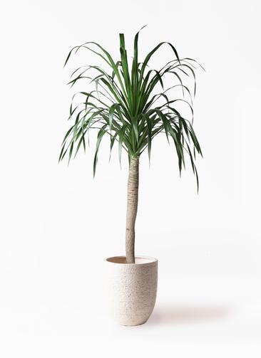 観葉植物 ドラセナ ドラコ 8号 ビアスアルトエッグ 白 付き