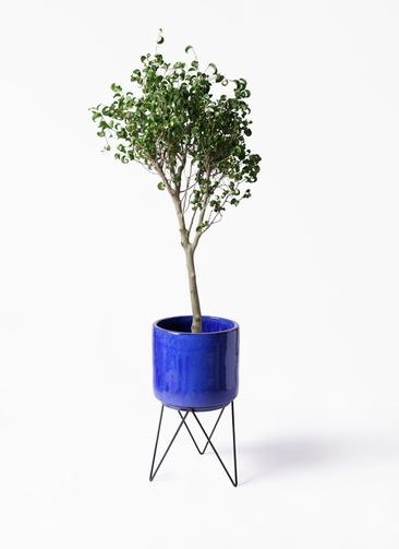 観葉植物 フィカス ベンジャミン 8号 シタシオン ビトロ エンデカ ブルー アイアンポットスタンド 付き