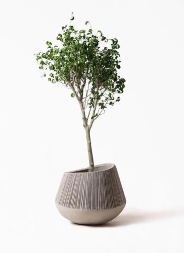 観葉植物 フィカス ベンジャミン 8号 シタシオン エディラウンド グレイ 付き