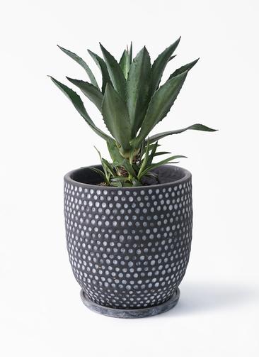 観葉植物 アガベ 8号 アメリカーナ ハイブミドル ブラック 付き
