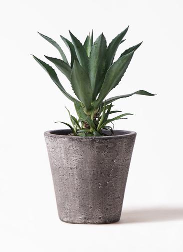 観葉植物 アオノリュウゼツラン 8号 フォリオソリッド ブラックウォッシュ 付き