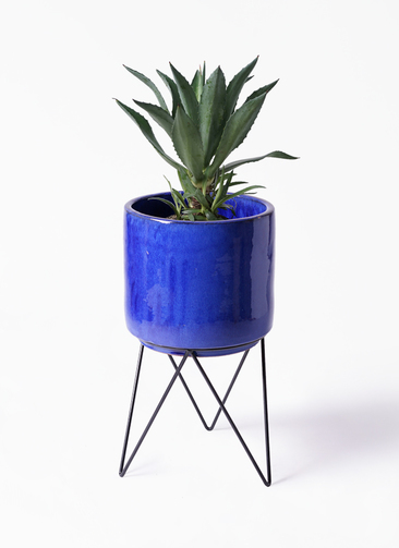 観葉植物 アガベ 8号 アメリカーナ ビトロ エンデカ ブルー アイアンポットスタンド 付き