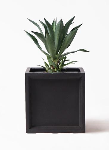 観葉植物 アガベ 8号 アメリカーナ ブリティッシュキューブ 付き