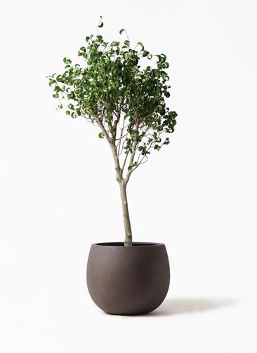 観葉植物 フィカス ベンジャミン 8号 シタシオン テラニアス ローバルーン アンティークブラウン 付き