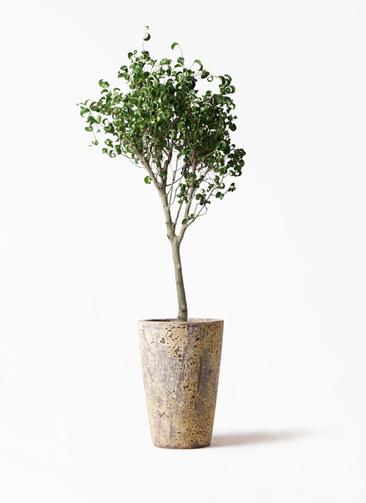 観葉植物 フィカス ベンジャミン 8号 シタシオン アトランティス クルーシブル 付き