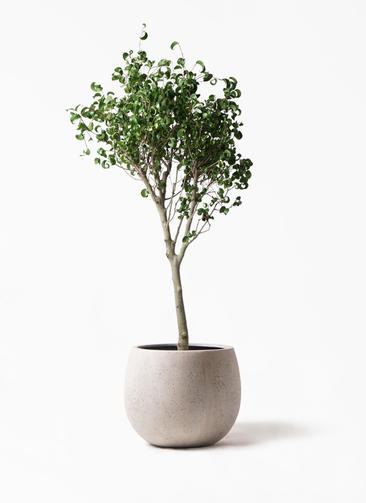 観葉植物 フィカス ベンジャミン 8号 シタシオン テラニアス ローバルーン アンティークホワイト 付き