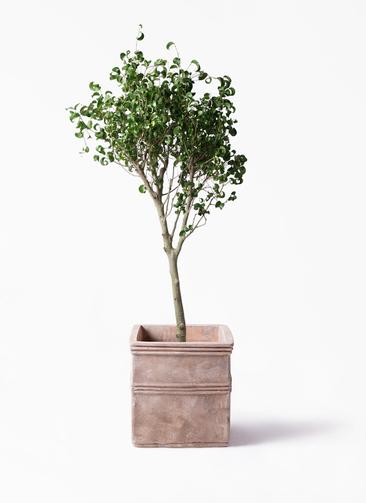 観葉植物 フィカス ベンジャミン 8号 シタシオン テラアストラ カペラキュビ 赤茶色 付き