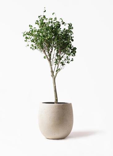 観葉植物 フィカス ベンジャミン 8号 シタシオン テラニアス バルーン アンティークホワイト 付き