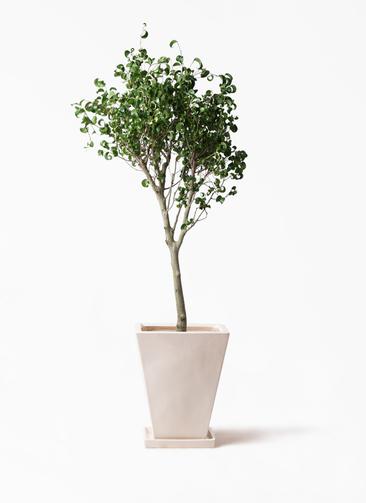 観葉植物 フィカス ベンジャミン 8号 シタシオン スクエアハット 白 付き